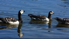 Barnacle black Goose migrating to the South Stock Footage