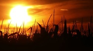 Time-lapse of a beautiful sunset over a corn field. Stock Footage