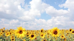 Sunflowers time-laps Stock Footage