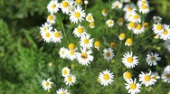 Chamomile flowers Stock Footage