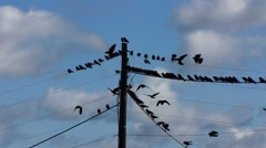 Flock of Birds Crows on electric cable line and fly away - stock footage
