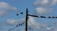 Flock of Birds Crows on electric cable line and fly away Stock Footage