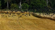 Flock of Birds Crows flying away and come back to the field Stock Footage