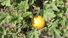Pumpkin on vine family garden slide in P HD 0093 - stock footage
