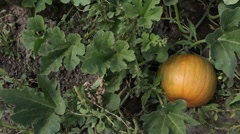 Pumpkin growing on vine family garden slider Stock Footage
