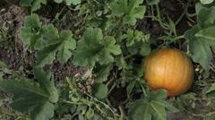 Pumpkin growing on vine family garden slider - stock footage