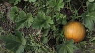 Stock Video Footage of Pumpkin growing on vine family garden slider P HD 0091