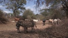 Kenya: Donkeys and Cows in a Dry Riverbed Stock Footage