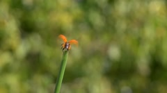 Ladybird taking off from a grass stalk, slow motion Stock Footage