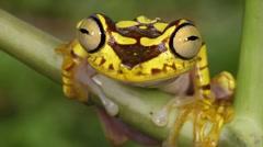 Imbabura Treefrog (Hypsiboas picturatus) - stock footage
