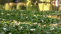 Beatiful lake with water lilies and ducks - stock footage