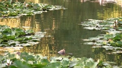 Beatiful lake with water lilies - stock footage