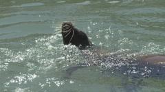 P01627 California Sea Lion Splashing Stock Footage