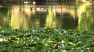 Stock Video Footage of Beatiful lake with water lilies and ducks