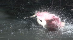 P01628 Roseate Spoonbill Splashing in Water Stock Footage