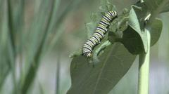 P01631 Monarch Caterpillar Feeding Stock Footage
