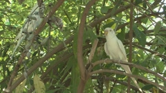 P01633 Budgie Bird or Budgerigar Stock Footage