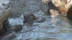 P01635 Asian Short-clawed Otters Stock Footage