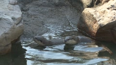P01637 Asian Short-clawed Otter Family Stock Footage