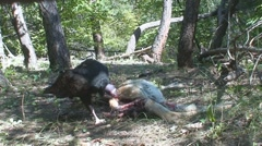 P01638 Turkey Vulture Feeding on Dead Deer - stock footage