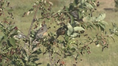 P01645 Birds on Chokecherry Tree Stock Footage