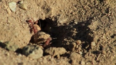 Ants Around Burrow Entrance Stock Footage