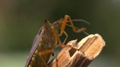 Stock Video Footage of shield bug or forest bug, pentatoma rufipes, cleaning antennae, closeup,