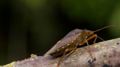 Shield bug or forest bug, pentatoma rufipes, walking along a twig. Stock Footage