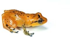 Esmeraldas Robber Frog (Diasporus gularis) Stock Footage