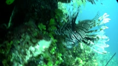 A deadly lionfish floats in a green underwater seascape. Stock Footage