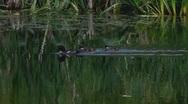 Mallard Mandarin duck family swimming in pond Stock Footage