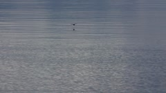 A swallow fly down to water to catch fish Stock Footage
