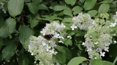 Amiraali perhonen juominen mesi on valkoisia kukkia Arkistovideo