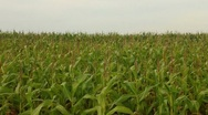 Stock Video Footage of Corn in the wind