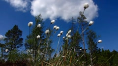Cotton grass with moving cloud Stock Footage