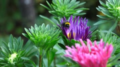 Bumblebee. Stock Footage