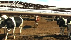Beef Cattle Cow Pen Drive-by Stock Footage