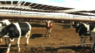 Stock Video Footage of Beef Cattle Cow Pen Drive-by 1