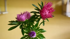 Asters. Stock Footage