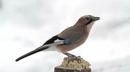 Stock Video Footage of Eurasian Jay