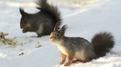 Two Red Squirrels on ground feeding Stock Footage