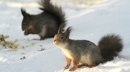 Stock Video Footage of Two Red Squirrels on ground feeding