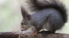 Red Squirrel feeding side view Stock Footage