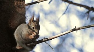 Stock Video Footage of Red Squirrel in tree feeding with audio!