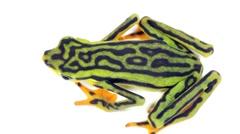 Elegant Stubfoot Toad (Atelopus elegans) Stock Footage