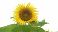 Stock Video Footage of sunflower with bee against white background