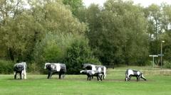 Cows Milton Keynes Stock Footage