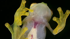 Glass Frog (Hyalinobatrachium sp.) - stock footage