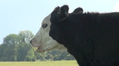 Cow Head Stock Footage