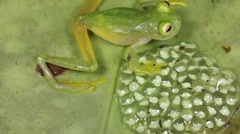 Glass frog (Family Centrolenidae) with eggs Stock Footage